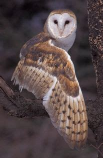 Barn owl showing wing, by Brian Cendro | Barn owl, Owl